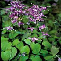 Epimedium 'Lilafee' (elfenbloem)
