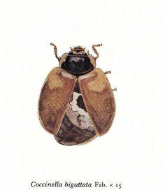 Vintage Print Ladybird Ladybug Coccinella biguttata