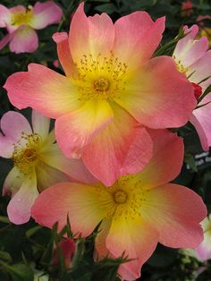 Glowing yellow roses blushed pink   'The Alexandra Rose'