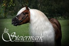 STEIERMARK (US) 1991 Sooty Palomino Haflinger Stallion. Styria {Steirer x Gundi by Morold} x Ustascha {Niki x Uschinka by Becket} Owned by Sandra Luber, Germany.Foto: Manuela Schneider