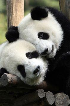 La ley china es muy rígida en cuanto a su caza, lo que ha disminuido esta problemática. En 1995, un terrateniente fue sentenciado a prisión perpetua por haberle disparado a un panda. Al año siguiente, dos hombres fueron condenados a pena capital después de ser capturados portando pieles de panda y mono dorado.