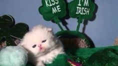 This kitten who just kissed way too many people in the bar because she might have some Irish heritage