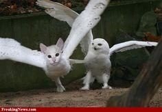 (2011-06) Cat + owl = cowl?