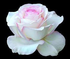 Beautiful White Roses | Beautiful White Rose - Moon Stone - D2X-07-06-11_8577 | Flickr - Photo ...