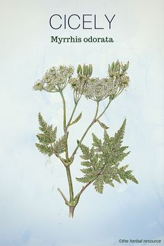 Cicely - sweet chervil - related to anise, star anise, fennel in properties Medicinal Herb