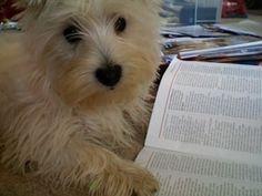 bookworm westie