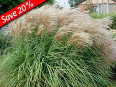 Miscanthus Huron Sunrise is a deer proof ornamental grass. Easy to grow hedge plant. Extremely heavy flowering. Blooms earlier than most other Miscanthus.  Provides year-round interest. Deer resistant & easy to grow. Zone 4,5,6,7,8,9 Blooms LateSummer-Fall. 5' x 3'