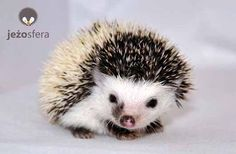 I really want a hedgehog but I'm pretty sure the dogs would try to eat it.