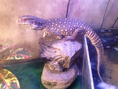 Jiminy my Savannah monitor