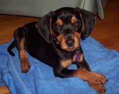 """Perro Miniatura Pinscher.El Pinscher miniatura () es una pequeña raza de perro del tipo Pinscher, desarrollado en Alemania. Los Pinschers miniatura fueron criados primero para cazar los parásitos, especialmente ratas. Pinscher, es una palabra alemana relacionada con la palabra inglesa """"pincher"""", que se cree que se refiere a los oídos de la raza que solía ser """"pinzado"""" o """"recortado"""". Zwerg significa enano. """"Fotos Del Miniatura Pinscher"""" """"Imágenes Del Miniatura Pinscher"""" El Pinscher miniatura…"""