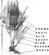 How to grow a pineapple from the crown.