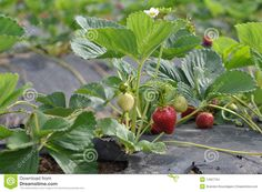 Organic Strawberry In California Field Stock Images - Image: 14327724