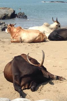 This is Goa, India - the only beach where you'll find cows laying out with the people!