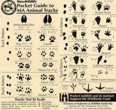 Animal tracks   **this is for MA but the tracks are the same for these animals all over