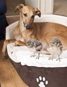 Italian Greyhound and Baby Owls lives together in an apartment :) click the photo to  read the great story and  see more cute photos of the baby owls :)