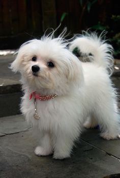 don t find too many that look like my larry but this is damn close dogs and puppies Cute Little Puppies, Cute Dogs And Puppies, Little Dogs, Doggies, Animals And Pets, Cute Animals, Maltese Dogs, Happy Puppy, Puppy Care