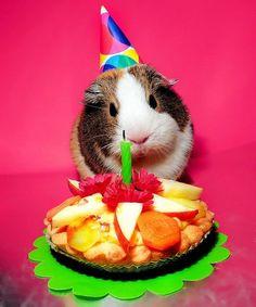 Baby Guinea Pigs, Guinea Pig Care, Pig Birthday, Animal Birthday, Happy Birthday, Happy Animals, Cute Funny Animals, Guinea Pig Costumes, Guniea Pig