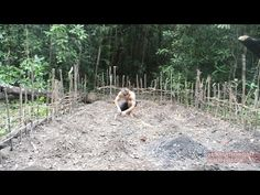 In this video I build a garden to grow Cassava and yams, two staple food crops. Cassava is a shrub that develops large edible roots. Yams are a climbing vine that produce large, edible underground …