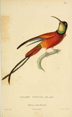 facsimilium: Histoire naturelle des colibris, 19th Century