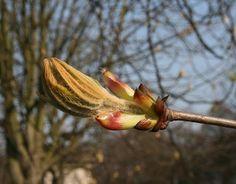 Floral de Bach Chestnut Bud - a essência floral que auxilia em nossos erros.