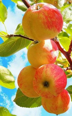 A delicious Apple! Fruit Plants, Fruit Garden, Fruit Trees, Fresh Fruits And Vegetables, Fruit And Veg, Photo Fruit, Fruits Photos, Fruit Photography, Fruit Painting