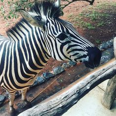 Frühstück mit Zebras! #südafrika #southafrica #germanblogger #foodblogger #leopardwalklodge #hluhluwe #nature #africannature #zebra #reisenohnegruppe