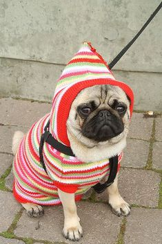 This grumpy pug in this outfit is perfection!