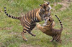 Sumatran tigress and cub - I love seeing the Sumatrans at the Safari Park (and of course the Malayans at the Zoo!)
