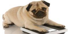 Aprende aquí la importancia de mantener el peso saludable en tu cachorro y evita problemas de sobrepeso Clic Aquí>>> http://sobreperrosygatos.com/mantener-peso-saludable-en-tu-cachorro/