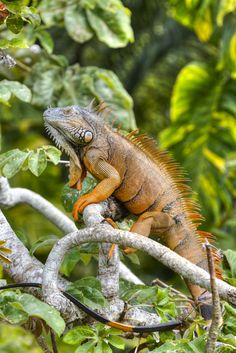 Our resident Green Iguana. This one was released from our Green Iguana Conservation Project many years ago, however, it kept coming back and now resides on a tree nearby the Restaurant