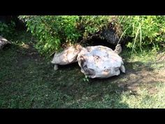 Giant Tortoise Rescues His Overturned Friend - Digg