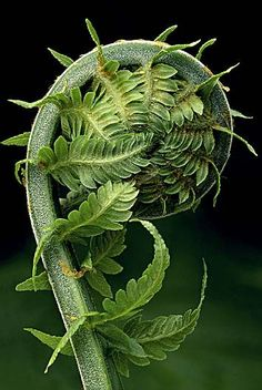 FERN - Mother Nature is incredibly beautiful. Just look at this fern. This is a Fibonacci spiral, or ratios if you've heard about them. The pattern is throughout nature. Foto Macro, Fern Frond, Patterns In Nature, Nature Pattern, Natural World, Amazing Nature, Ferns, Belle Photo, Shades Of Green