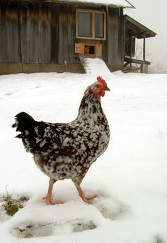 Cold weather chicken