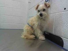 Urgent Dogs of Miami ROVER (A1687415)I am a male white Terrier.  The shelter staff think I am about 5 years old and I weigh 8 pounds.  I was found as a stray and I may be available for adoption on 03/27/2015. —