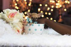Super Cute Puppies! www.teacuppuppiesstore.com 954-353-7864