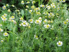chamomile. Easy to grow your own tea.