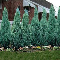 Skyrocket juniper grows to 15 feet tall with a narrow 3-foot spread and has silver-blue foliage.