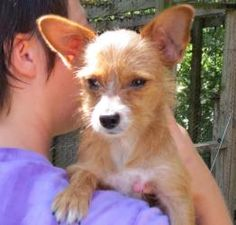 Coby 6 lbs is an adoptable Chihuahua Dog in Falmouth, KY. Im a very happy loving little guy, im only 6.4 pounds. im great with kids and other pets! Im really scruffy. I would love someone to love and ...