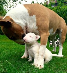 Uplifting So You Want A American Pit Bull Terrier Ideas. Fabulous So You Want A American Pit Bull Terrier Ideas. Chien Bull Terrier, Mini Bull Terriers, English Bull Terriers, Terrier Dogs, Pitbull Terrier, Staffordshire Bull Terrier, Brindle Bull Terrier, Boston Terrier, Cute Puppies