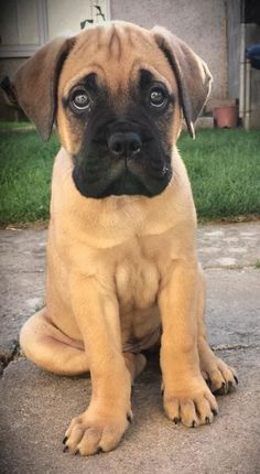 Bull Mastiff puppy.  Big baby! - http://animalfunnymemes.com/bull-mastiff-puppy-big-baby/