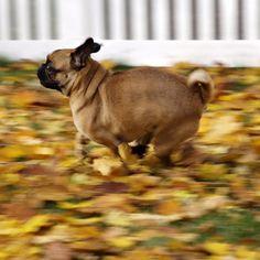 Pug? Running really fast!