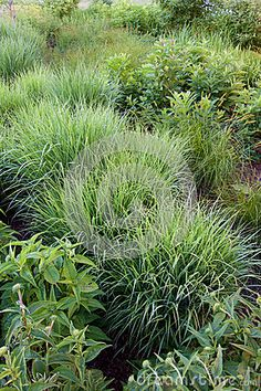Photo about Various plants , mostly sedge in a rain garden for mitigating stormwater runoff of a parking lot. Image of rain, flowers, garden - 75644214 Rain Garden, Permaculture, Photo Art, Herbs, Stock Photos, Plants, Layout, Gardening, Image