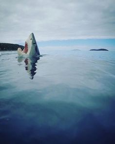 "rocktopussy: "" everydaysharks: "" Gorgeous photo of a Great White Shark breaking the surface. By @Mikecoots on Instagram. Link: https://instagram.com/p/BAGxnxqomGG/ "" HEY YOU GUYS """
