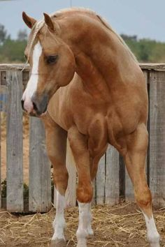 Most Beautiful Horses, All The Pretty Horses, American Quarter Horse, Quarter Horses, Beautiful Creatures, Animals Beautiful, Animals And Pets, Cute Animals, Horse Wallpaper