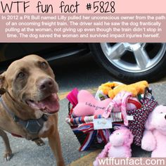 Pit Bull saves the life of his owner - WTF fun facts