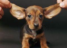 Puppy Dachshund!! I miss my Dachshund being that small! :D