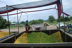 La dependencia estatal por apoyar a Productores de Limón de Pinzándaro para darle valor agregado a 62 mil 200 toneladas del cítrico – Buenavista, Michoacán, 18 de julio de 2016.- ...