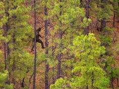 Bigfoot or big fake? Hair samples supposedly taken from mysterious creatures aren't what they appear to be.