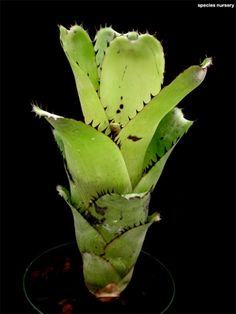 Billbergia sanderiana