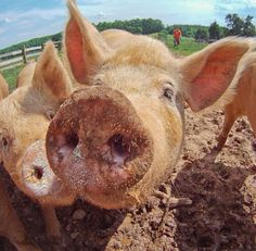 With around 1 billion individuals alive at any time, the domestic pig is among the most populous large mammals in the world.[3][4] Pigs are omnivores and can consume a wide range of food, similar to humans